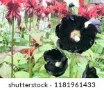 Black Hibiscus Flowers With...