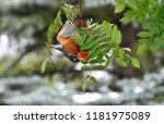 an image of young robin... | Shutterstock . vector #1181975089
