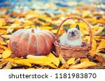 Stock photo little kitten sitting in a basket near big pumpkin kitten sitting in a garden on fallen yellow 1181983870