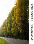 Roadside Lombardy Poplars With...