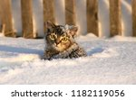 Stock photo small gray tabby cat little kitten standing in the snow with an unhappy face 1182119056