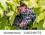 Wine Grapes Vine Ready Be - Fine Art prints