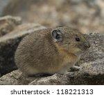 pika closeup | Shutterstock . vector #118221313