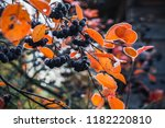 aronia bush branches with... | Shutterstock . vector #1182220810