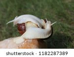 big african snail in the nature | Shutterstock . vector #1182287389