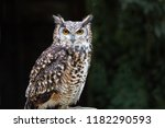 Stock photo a close up of a european eagle owl perched on a post and staring forward taken against a dark 1182290593