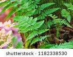 fern in the forest | Shutterstock . vector #1182338530