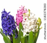 three colorful hyacinths in...   Shutterstock . vector #1182378283