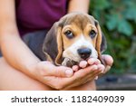 Stock photo adorable beagle puppy cuddling with female owner tricolor purebred puppy 1182409039