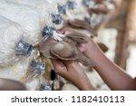 oyster mushroom or pleurotus... | Shutterstock . vector #1182410113