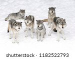 timber wolves or grey wolves ... | Shutterstock . vector #1182522793