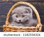 Stock photo scottish fold kitten gray kitten on photo studio funny gray kitten in the basket photographing a 1182536326