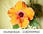 rose mallow bloom | Shutterstock . vector #1182544963