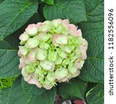 beautiful green hydrangea... | Shutterstock . vector #1182556096
