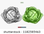 hand drawn cabbage. template... | Shutterstock .eps vector #1182585463