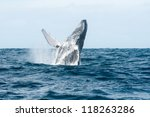 Jumping Humpback Whale Out Of...