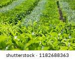tea leaves growing on top of... | Shutterstock . vector #1182688363