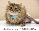 sick cat who suffered an injury ... | Shutterstock . vector #1182842866