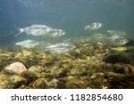 freshwater fish riffle minnow ... | Shutterstock . vector #1182854680