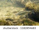 freshwater fish riffle minnow ... | Shutterstock . vector #1182854683