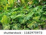 monstera leaves  island of...   Shutterstock . vector #1182975973