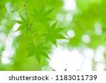 fresh green oyama saij  i... | Shutterstock . vector #1183011739