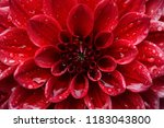 close up on center red dahlia... | Shutterstock . vector #1183043800