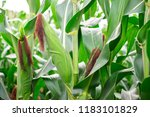the corn or maize is bright... | Shutterstock . vector #1183101829