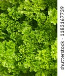 a bunch of curly parsley ... | Shutterstock . vector #1183167739