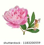 a picturesque peony flower.... | Shutterstock .eps vector #1183200559