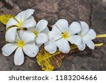 plumeria flowers on stone ... | Shutterstock . vector #1183204666