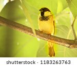 male sparrow on a branch  west... | Shutterstock . vector #1183263763