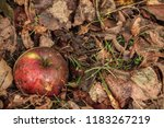 Rotten Apple On The Autumn Grass