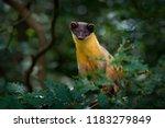 yellow throated marten  martes...   Shutterstock . vector #1183279849
