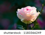 Stock photo pink rose flower against dark smooth blurry background beautiful floral summer scene free space 1183366249