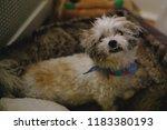shih tzu dog disheveled... | Shutterstock . vector #1183380193