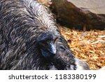 close up emu face red eyes | Shutterstock . vector #1183380199