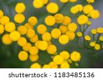 tansy  bitter buttons  cow... | Shutterstock . vector #1183485136