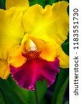 cattleya yellow red lip orchids ... | Shutterstock . vector #1183551730