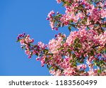 Pink Apple Flower Blooming With ...