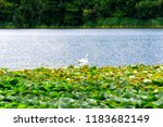 swan swimming in a lake with... | Shutterstock . vector #1183682149