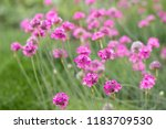 Armeria Maritima  Commonly...
