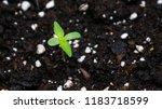 cannabis weed purple haze... | Shutterstock . vector #1183718599