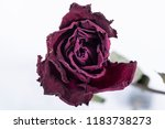 Stock photo withered red rose 1183738273