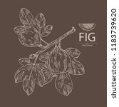 figs  fruit and branch of a fig.... | Shutterstock .eps vector #1183739620