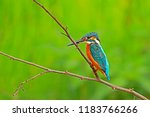 common kingfisher on branch in...   Shutterstock . vector #1183766266