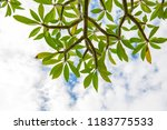 frangipani leaves on the trees... | Shutterstock . vector #1183775533