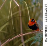 deep red and black plumage on a ... | Shutterstock . vector #1183812199