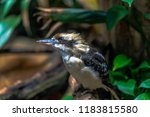 blue  white  and tan plumage on ... | Shutterstock . vector #1183815580