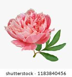 a picturesque peony flower....   Shutterstock .eps vector #1183840456